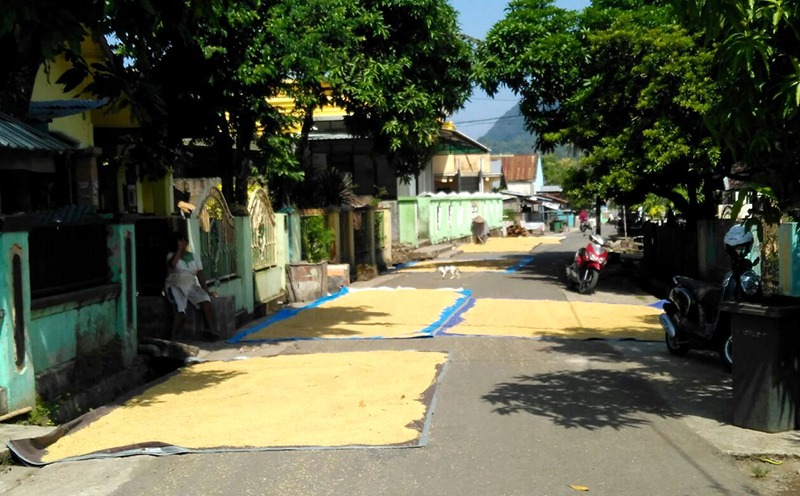 Petani Sekongkang Jadikan Jalan Raya Tempat Jemur Gabah