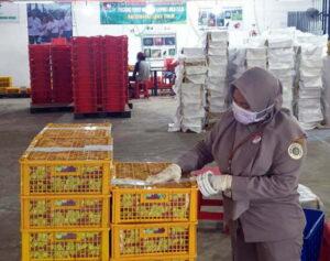 20 Ton Manggis Asal Banyuwangi Diekspor Ke China